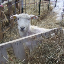 Mary hides behind the hay rack, post-shear.