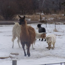 "Once the sheep were ""returned to the wild"", the llama lladies can't resist galloping over for inspections."